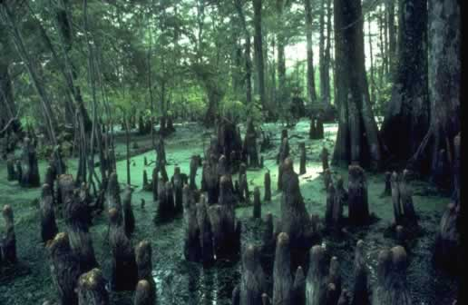 Cypress knees in South Louisiana swamp